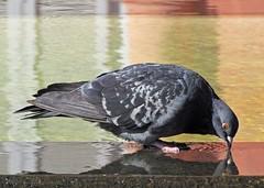 Spa (carlos_ar2000) Tags: paloma dove pigeon ave pajaro bird naturaleza nature animal fuente fountain agua water reflejo reflected reflection color colour montserrat buenosaires argentina