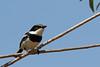 2016 10 15_Chin-spot Batis-1.jpg (Jonnersace) Tags: chinspotbatis bird lowersabie krugernationalpark southafrica witliesbosbontrokkie batismolitor safari canon