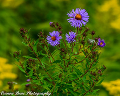 Wild Asters (vernonbone) Tags: 1855kitlens 2017 500mm autumn d3200 green lens ontario orange purple september wildasters wildflowers colors flowers nikon outside sigma street