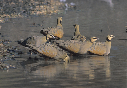 Yellow-throated Sandgrouse , drinking in Quarry, Koppie Alleen , Northem, 1448