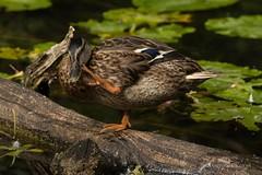 DSC_0294 (AngelPixCn) Tags: angepixcn bird duck feathers grass heron lilly nikond7100 river robin wild cardiff wales unitedkingdom gb