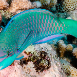 Violetlined Parrotfish, terminal phase - Scarus globiceps thumbnail