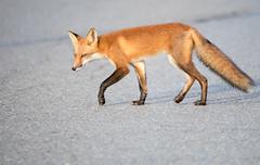 Red Fox Crossing (NicoleW0000) Tags: redfox vulpesvulpes wild animal carnivore predator urbanwildlife wildlifephotography ontario fox foxes