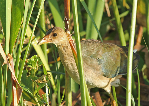 Purple Gallinule (Porphyrio martinica)
