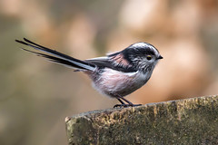 Long-tailed tit (Phil D 245) Tags: