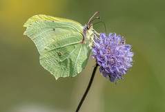 JWL4609  Brimstone.. (jefflack Wildlife&Nature) Tags: brimstone butterflies butterfly insects insect lepidoptera wildlife wetlands woodlands wildflowers glades gardens parklands heathland hedgerows moorland meadows marshland scrub nature countryside