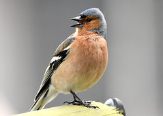 Song of the Chaffinch. (pstone646) Tags: chaffinch bird nature animal fauna wildlife kent closeup fence feathers