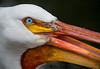 Pelican - Explored (Silva's Aragorn1229) Tags: bird macro eye portrait animal wildlife nature outdoors eyes staring pelican nikond5200 nikon explored explore