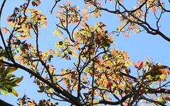 Red Cedar (Toona cilitata) (Poytr) Tags: redcedar newleaves redleaves arfp nswrfp qrfp mountannanbotanicgardens meliaceae toonaciliata toona tree sky poem billhaydon