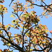 Red Cedar (Toona cilitata)