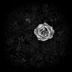 (pure) coincidence (Neko! Neko! Neko!) Tags: forest dream blackandwhite blackwhite bw mono monochrome feeling emotion life unexpected randomness chance rose expression expressionism surreal surrealism
