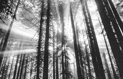 Dreaming of light (-Alberto_) Tags: nikonfe 35mmfilm istillshootfilm monochrome redwoods nature forest