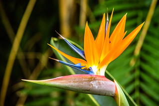 2017-09-19 Botanischer Garten, Puerto de la Cruz (05) - Paradiesvogelblume (Strelitzia reginae) - Botanischer Garten (Jardín Botánico de la Orotava) in Puerto de la Cruz auf Teneriffa