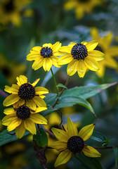 Fall Color: Misty Morning (Portraying Life, LLC) Tags: michigan unitedstates pentax k3ii da20028 handheld nativelighting garden daisy yellow