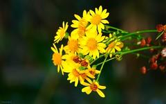 Flowers -3501 (YᗩSᗰIᘉᗴ HᗴᘉS +7 000 000 thx❀) Tags: flora 7dwf fleur jaune yellow flower hensyasmine