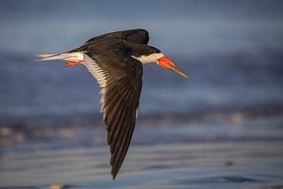 SIF (Skimmer in Flight)..