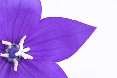 33/52: Why fit in when you were born to stand out? - Dr Seuss (judi may) Tags: 52weekchallenge macro nature flower purple purpleflower balloonflower petals canon7d closeup whitebackground white vibrant colour colourful