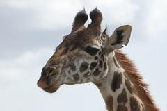 20170617_3232_Masai Mara_Girafe Masai (fstoger) Tags: kenya masaimara viesauvage wildlife safari girafe girafemasai masaigiraffe afrique africa
