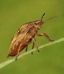 EOS 7D Mark II_052769 (gertjan.kamsteeg) Tags: animal invertebrate bug truebug heteroptera heteropteran insect eurygastertestudinaria scutelleridae tortoise tortoisebug macro