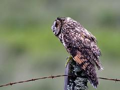 Long eared owl (davy ren2) Tags: coast west scotland leo d500 nikon photograthy wildlife owls