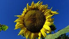 Słonecznik. (andrzejskałuba) Tags: polska poland pieszyce dolnyśląsk silesia sudety sky niebo europe panasonic lumix fz200 niebieski blue natura nature żółty yellow zieleń green garden ogród kwiat flower słonecznik sunflower pszczoła bee 100v10f
