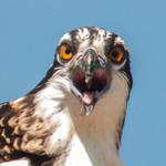 Osprey Nestling thumbnail