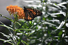 Monarch butterfly on butterflyweed (U.S. Fish and Wildlife Service - Midwest Region) Tags: monarch butterfly butterflyweed asclepias flower minnesota summer insect pollinator