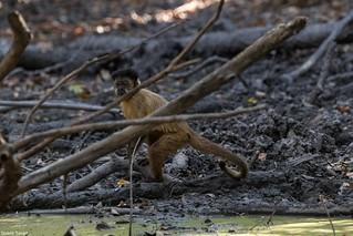 Macaco - prego