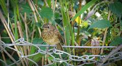 2DG_1088 (purple_girl_bristol) Tags: chewvalley rbin nikond7000 nikon18200mm wildlife bird babybird somerset
