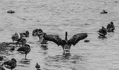 Goose / Gans (Stef32Photo) Tags: goose gans blackandwhite zwartwit staatsbosbeheer flevoland oostvaardersplassen nederland netherlands water bird vogel animal beest nikon d5300 sigma18200mm sigma 200mm swphotography daylight daytime daglicht overdag