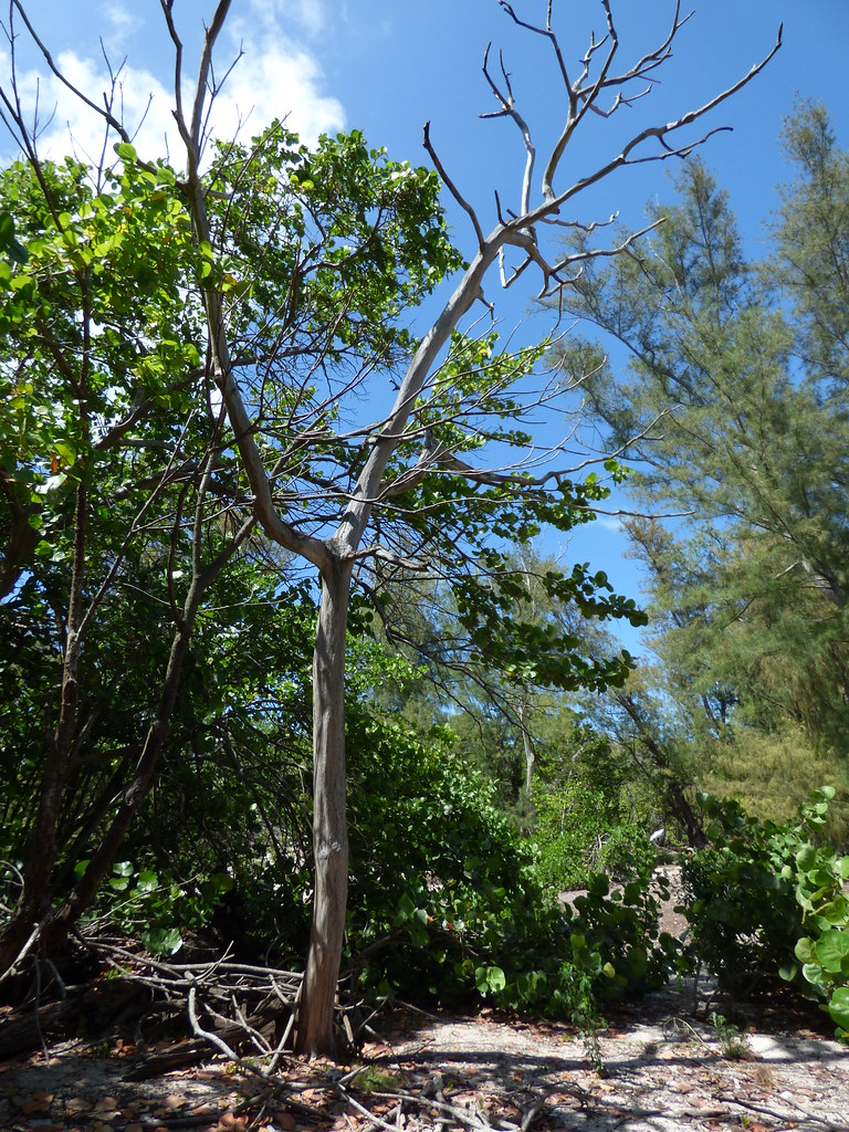 starr-170624-0911-Ficus_macrophylla-dead_tree_controlled_2015-West_Beach_Sand_Island-Midway_Atoll