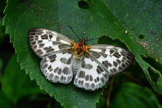 Abraximorpha davidii (Chequered Flat)
