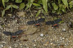 Bhutanitis lidderdalii シボリアゲハ (Hiro Takenouchi) Tags: nocrop bhutanitis papilionidae mariposa india nature butterflies butterfly mantisfly papillon schmetterling parnassiinae arunachal eaglenest