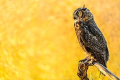 Great Horned Owl (just4memike) Tags: bird blurredbackground feather great horned owl raptor talon wildlife wing