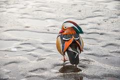 Potsdam, Germany (gavin.mccrory) Tags: nature wildlife duck animal germany potsdam portrait nikon d5100
