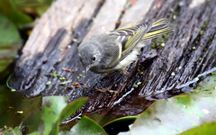 Ruby-crowned Kinglet -- Juvenile; (Regulus calendula); Santa Fe National Forest, NM, Thompson Ridge [Lou Feltz] (deserttoad) Tags: nature newmexico animal fauna bird wildbird songbird kinglet nationalforest mountain