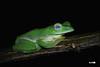 Malabar gliding frog (harshithjv) Tags: frog amphibian anurans rhacophorus malabaricus amphibia lissamphibia neobatrachia rhacophoridae rhacophorinae canon 600d tamron macro 90mm