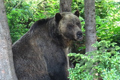 King of the Rockies (Karlov1) Tags: bear