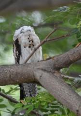 Nothern Potoo in Kingston. (Jamdowner) Tags: potoo bird jamaica nyctibiusjamaicensis nocturnal golfcourse