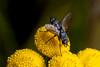 Hairy Butt - _TNY_1529 (Calle Söderberg) Tags: macro canon canon5dmkii canoneos5dmarkii canonef100mmf28usmmacro flash meike mk300 glassdiffusor eriothrix rufomaculata fly fluga parasitfluga tachinidae renfana yellow flower tansy vulgare tanacetum voriini dexiinae tachinidfly bristles raynox dcr250 5d2