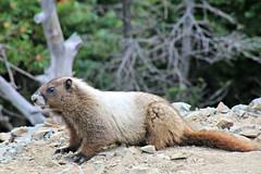 Marmot (Bella Lisa) Tags: marmot mountrainiernationalpark sourdoughmountains washington sunrisevisitorcenter degepeak mtrainier emmonsvista curlyeverlasting wildflowers wilderness nationalpark washingtonstate sunsetpoint hiking emmonsglacierevergreens pines pinetrees