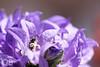 Toilette (Olivier Brosseau) Tags: campanule abeille abeillesauvage pistil nikonpassion ngc