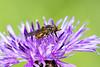 Gewone Snuitvlieg (Rhingia campestris) (Bram Reinders(on-off)) Tags: gewonesnuitvlieg rhingiacampestris zweefvlieg hoverfly delfzijl vlieg fly natuur nature wildlife curiosityisthesourceofallknowledge nieuwsgierigheidisdebronvanallekennis groningen holland nederland thenetherlands nikond500 nikonafs200500mmf56evred nikon200500 nikkor200500 200500 nikkor nikon ©bramreindersdelfzijl bramreinders bram reinders wwwbramreindersnl