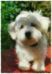 Alfie in the garden  .. #alfie #zuchon #puppy #dog #shitzuxbichonfrise #jennyparry #beautiful #cute (jennyparry737) Tags: zuchon alfie beautiful shitzuxbichonfrise jennyparry puppy cute dog