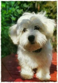 Alfie in the garden  .. #alfie #zuchon #puppy #dog #shitzuxbichonfrise #jennyparry #beautiful #cute