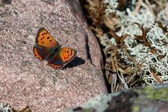 Mindre guldvinge (evisdotter) Tags: mindreguldvinge commoncopper lycaenaphlaeas butterfly fjäril macro nature sooc insect