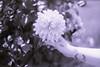 film (La fille renne) Tags: film analog lafillerenne 35mm minoltasrt303b 50mmf17 kodak kodachrome25 expiredfilm expired flowers spookyvalentine