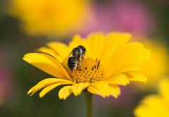 Gold Rush (~DGH~) Tags: 2017 alberta canada july pentaxk50 stalbert stalbertbotanicpark summer bee flowers macro pollen smcpentaxdfamacro100mmf28wr ~dgh~