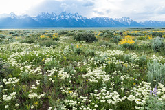 Tetons Field of Flowers (grimeshome) Tags: flower flowers wildflower wildflowers tetons tetonnationalpark tetonslandscaape grandtetonnationalpark teton field prairie sunset fieldofflowers whiteflowers wilderness nature nationalpark nationalparks