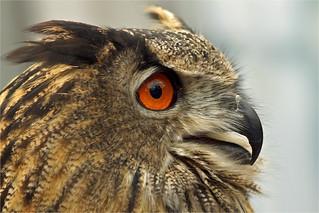 Portrait Eurasian Eagle Owl